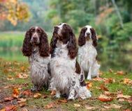 3 Spaniels английских Спрингера сидя на траве крупный план предпосылки осени красит красный цвет листьев плюща померанцовый Стоковые Фотографии RF