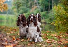 3 Spaniels английских Спрингера сидя на траве крупный план предпосылки осени красит красный цвет листьев плюща померанцовый Стоковые Изображения RF