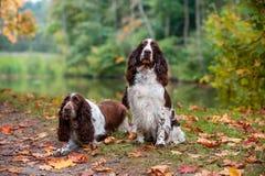 2 Spaniels английских Спрингера сидя на траве крупный план предпосылки осени красит красный цвет листьев плюща померанцовый Стоковое фото RF