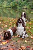 3 Spaniels английских Спрингера сидя на траве крупный план предпосылки осени красит красный цвет листьев плюща померанцовый Стоковое фото RF