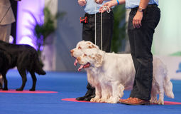 Spaniels Clumber на выставке собак Стоковые Изображения