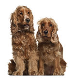 Spaniels di Cocker inglesi, 16 mesi, sedentesi Immagine Stock
