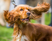 Spaniels ears. Spaniel with ears blowing in wind Stock Photos