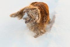 Spanielskvallerbyttor i snön fotografering för bildbyråer