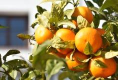 spanien Frische reife Orangen, die auf einem Busch wachsen stockfotografie
