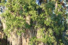 Spanisch-Moss Tillandsia-usneoides Stockfoto