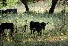 Spanische Kühe im Trübsinn des Feldes lizenzfreie stockfotos