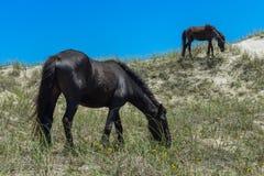 Spanische Mustangs Stockfotos