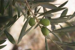 Spanische Oliven bevor dem Fallen stockbilder