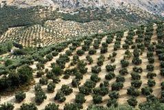 Spanische Olivenhaine Lizenzfreie Stockfotos