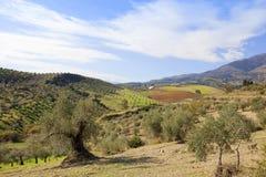 Spanische Olivenhaine in den Hügeln von Andalusien Stockfoto