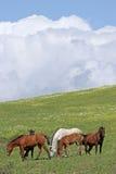 Spanische Pferde auf dem grünen Gebiet weiden lassend auf Gras Lizenzfreie Stockbilder