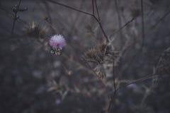 Spanische purpurrote Blumen an der Dämmerung stockbild