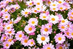 Spanische rosafarbene Gänseblümchen Stockfoto