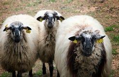 Spanische Schafe in einem Bauernhof, lustige Lohnaufmerksamkeit: stockfoto