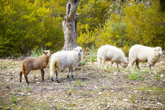 Spanische Schafe in Mallorca Lizenzfreies Stockfoto
