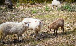 Spanische Schafe in Mallorca Stockfotos