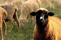 Spanische schwarze Schafe, die Aufmerksamkeit zahlen lizenzfreie stockfotos