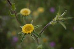Spanische wilde Frühlingsblume im Gelb Stockfoto