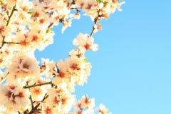 Spanischer Frühling der Kirschblüte auf Hintergrund des blauen Himmels Stockfoto