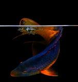 Spanischer Hogfish auf schwarzem Hintergrund Stockbild