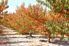 Spanischer Kirschobstgarten im Herbst, Murcia Stockfoto
