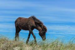 Spanischer Mustang Stockfoto