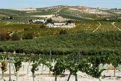 Spanischer Weinberg, Montilla Stockbild