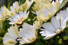 Spanisches Gänseblümchen Stockfotos