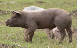 Spanisches iberisches Schwein Lizenzfreie Stockfotografie