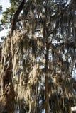 Spanisches Moos in den Schattenbäumen Lizenzfreies Stockbild