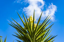 Spanish bayonet tree Latin name Yucca aloifolia flowers. Bloom, plant, yucca, carlsbad royalty free stock photos