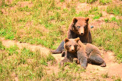 Spanish bears, mother and cub sitting together. On red earth Stock Photos