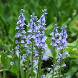 Spanish bluebell Royalty Free Stock Image