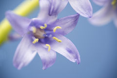 Spanish bluebell flower hyacintoides hispanica Royalty Free Stock Photos