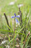 Spanish bluebell, Hyacinthoides hispanica Stock Photo