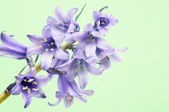 Spanish bluebell hyacintoides hispanica Stock Images