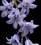 Spanish bluebell hyacintoides hispanica Stock Photo