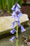 Spanish Bluebells Flowers Royalty Free Stock Images