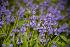 Spanish Bluebells, Hyacinthoides hispanica, in Spring. Carpet of Spanish Bluebells, Hyacinthoides hispanica, in Springtime royalty free stock photo