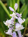 Spanish Bluebells in the Spring Garden Royalty Free Stock Images