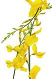 Spanish broom flowers Royalty Free Stock Photos