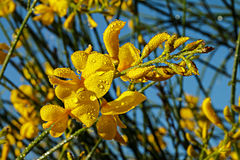 Spanish broom flowers Stock Photography