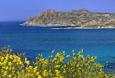 Spanish broom, Spartium junceum, Weavers broom near Ile Rousse, Balagne, Northern Corsica, France Stock Image