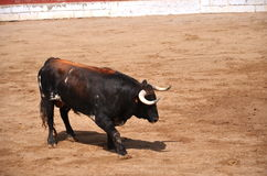 Spanish bull on a bullring Royalty Free Stock Photos