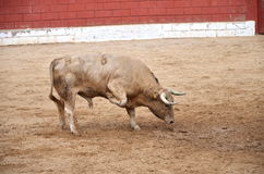 Spanish bull on a bullring Stock Image