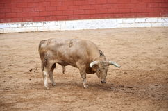 Spanish bull on a bullring Royalty Free Stock Photo