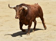 Spanish bull in bullring. Angry and fierce bull in spain in bullring with big horns stock photography