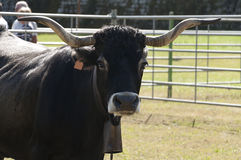 Spanish cattle breed Stock Image