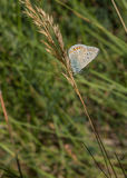Spanish Chalk-hill Blue on dry grass stem. A Spanish Chalk-hill Blue butterfly (Polyommatus albicans) rests on the dry stem of a grass plant, this species is stock photos